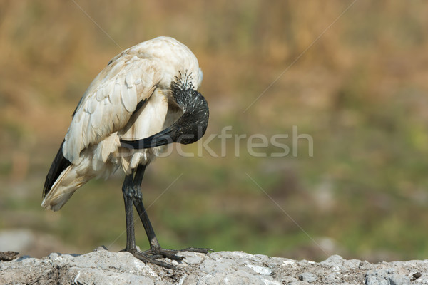 A Sacred Ibis (Threskiornis aethiopicus) preening down low Stock photo © davemontreuil