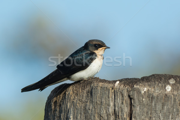 Wire-tailed Swallow juvenile (Hirundo smithii) perched on a wood Stock photo © davemontreuil