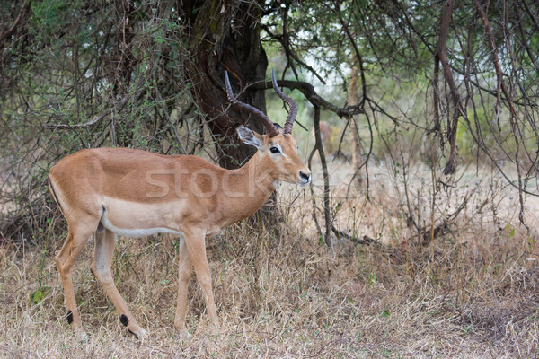 A male impala (Aepyceros melampus) in wooded surroundings Stock photo © davemontreuil