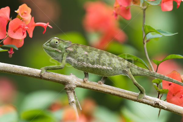 Flap-necked Chameleon (Chameleo dilepis) crawling in a garden Stock photo © davemontreuil