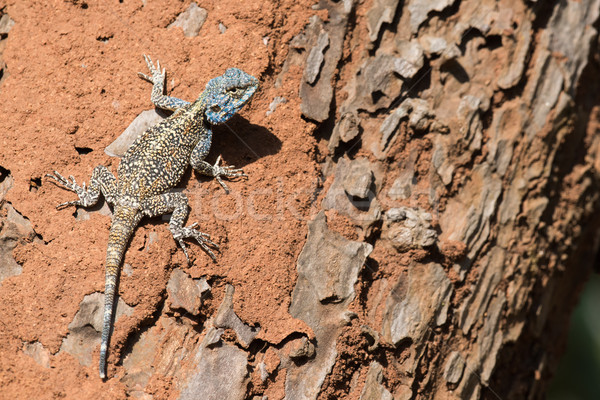 A male Agama Lizard resting on a tree infested with termites Stock photo © davemontreuil