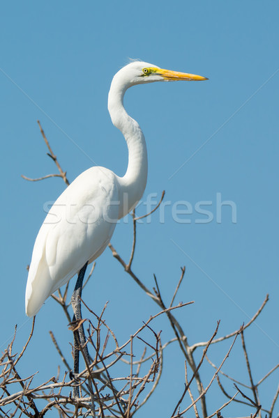 Great White Egret (Egretta alba) Stock photo © davemontreuil