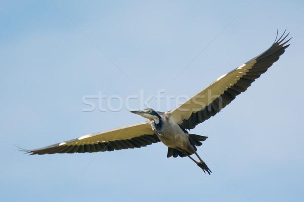 Black-Headed Heron in flight Stock photo © davemontreuil