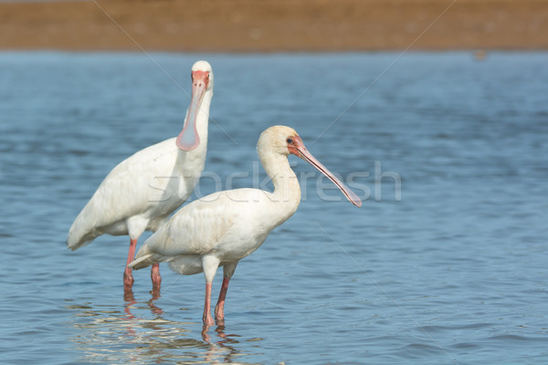 Two African Spoonbills standing in water Stock photo © davemontreuil