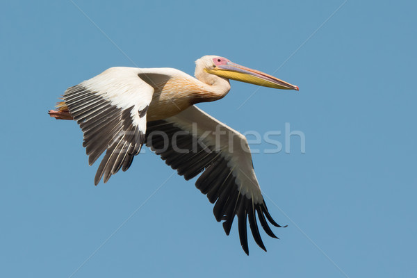 Great White Pelican in flight Stock photo © davemontreuil