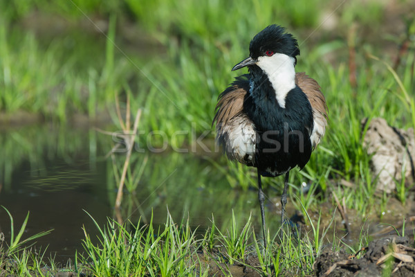 Spur-Winged Lapwing (Vanellus Spinosus) after Stock photo © davemontreuil