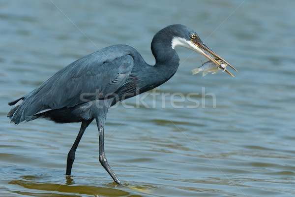 A Western Reef Heron (Egretta gularis) holding up his catch Stock photo © davemontreuil