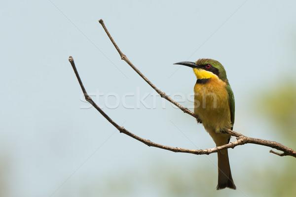 支店 鳥 アフリカ 蜂 美しい 甘い ストックフォト © davemontreuil
