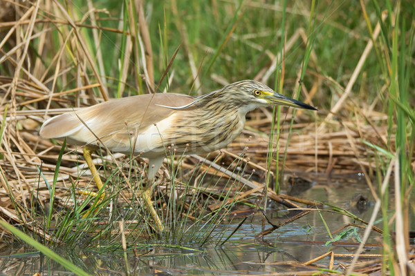 Squacco Heron (Ardeola ralloides) in a marsh Stock photo © davemontreuil
