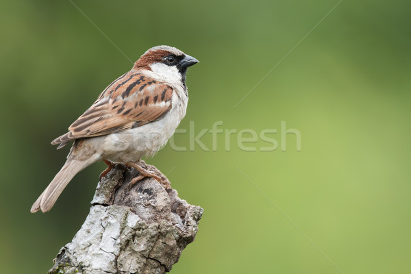 House Sparrow (Passer domesticus) perched on a knot of wood Stock photo © davemontreuil