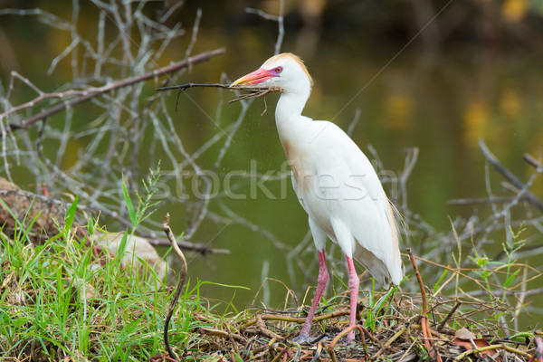 Cattle Egret with stick Stock photo © davemontreuil