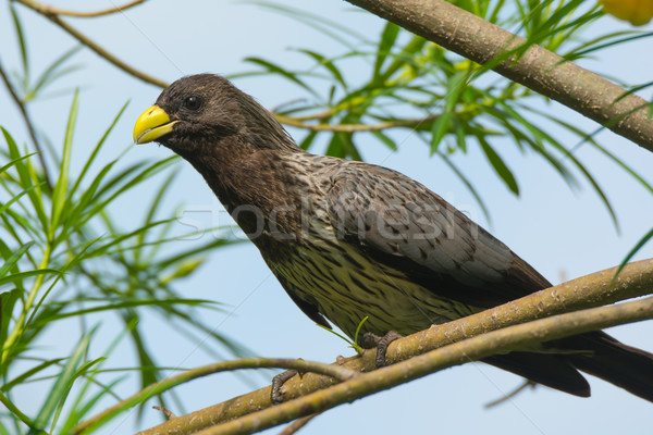 Western Grey Plantain-Eater Stock photo © davemontreuil
