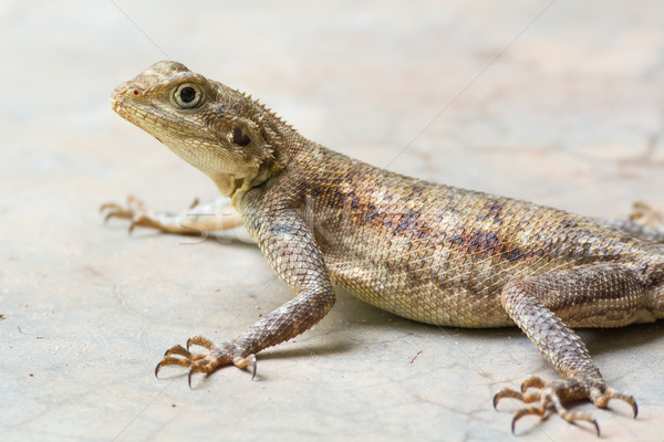 Agama Lizard Stock photo © davemontreuil