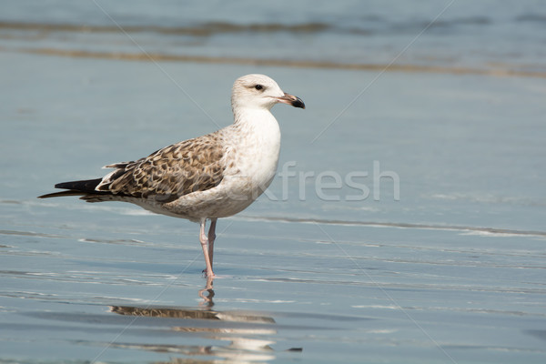 Young Lesser Black-Backed Gull (Larus fuscus) in flight Stock photo © davemontreuil