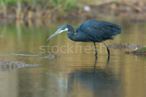 Ouest héron poissons eau bleu Afrique Photo stock © davemontreuil