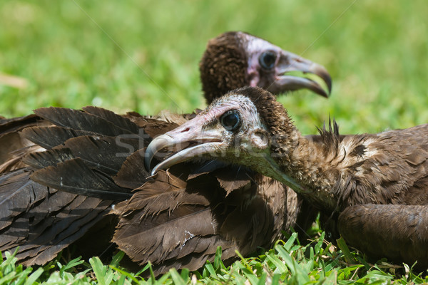 A Hooded Vulture preening its neighbour Stock photo © davemontreuil