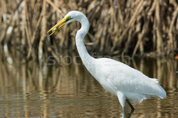 Great White Egret (Egretta alba) with a captured fish Stock photo © davemontreuil