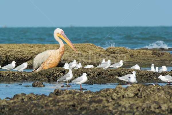 A Great White Pelican (Pelecanus onocrotalus) standing amongst s Stock photo © davemontreuil