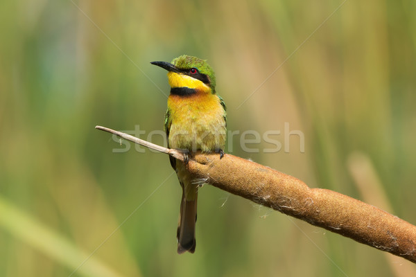 A Little-Bee Eater (Merops pusillus) perched on a cattail Stock photo © davemontreuil