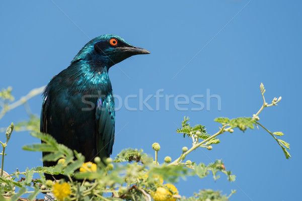 A Greater Blue-eared Glossy Starling (Lamprotornis chalybaeus) p Stock photo © davemontreuil
