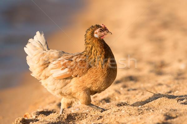 鶏 徒歩 ビーチ 鳥 砂 アフリカ ストックフォト © davemontreuil