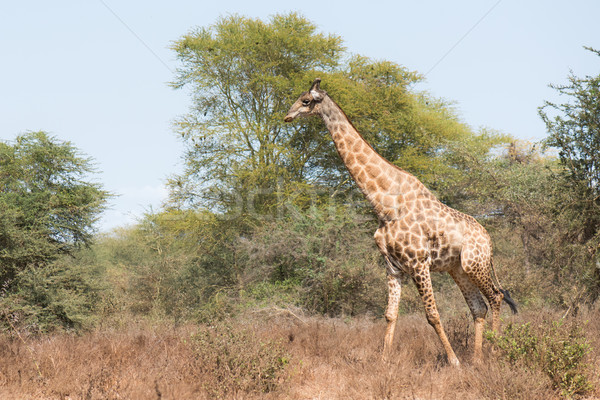 Giraffe (Giraffa camelopardalis) walking through a dry habitat Stock photo © davemontreuil