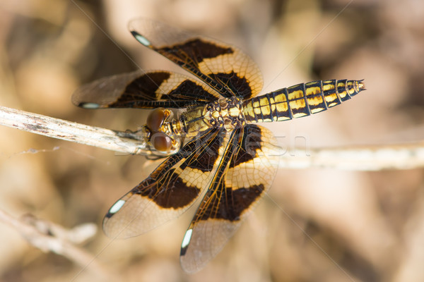 Female Portia Widow Dragonfly - Palpopleura portia Stock photo © davemontreuil