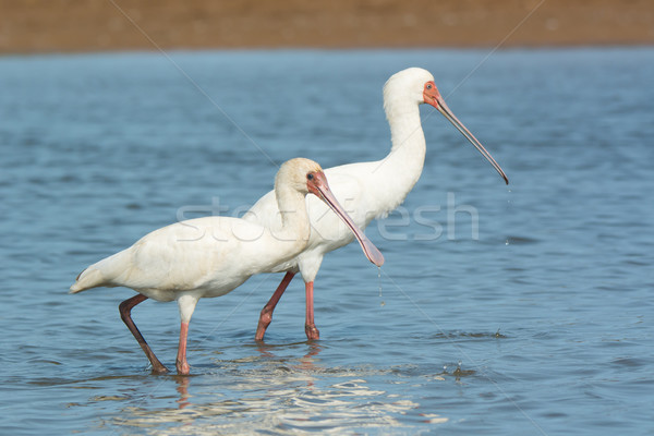Two African Spoonbills with water dripping from their bills Stock photo © davemontreuil
