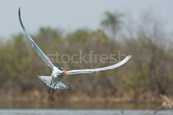 Humide vol poissons Afrique manger ailes Photo stock © davemontreuil