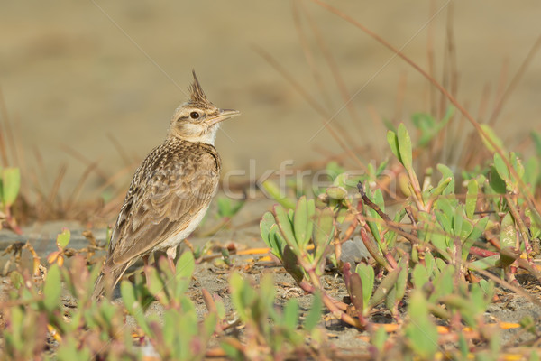 Crested Lark on the beach with its crest raised Stock photo © davemontreuil