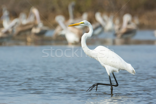 Great White Egret stepping past pelicans Stock photo © davemontreuil