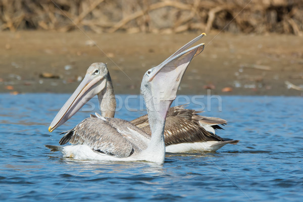 Pink-backed Pelican swallowing some fish Stock photo © davemontreuil