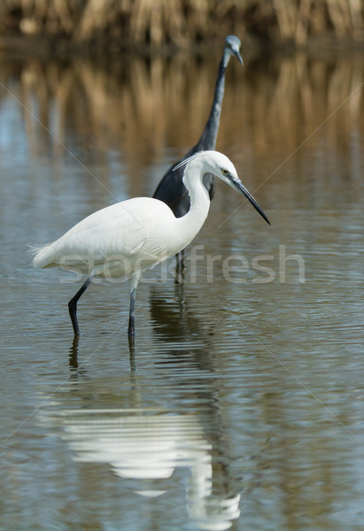 Witte westerse reiger donkere natuur lopen Stockfoto © davemontreuil