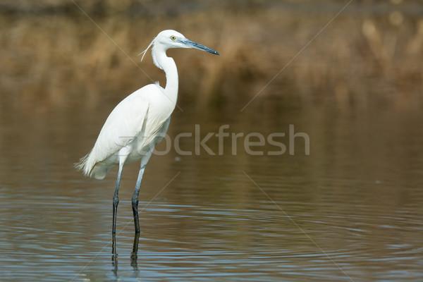 Branco ocidental garça-real em pé raso água Foto stock © davemontreuil