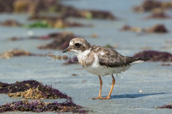 羽 ビーチ アフリカ 動物 プロファイル ストックフォト © davemontreuil