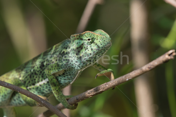 A Chameleon (Chamaeleo senegalensis) slowly climbing on a branch Stock photo © davemontreuil
