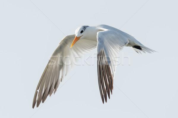 ストックフォト: ロイヤル · 飛行 · 空 · 鳥 · アフリカ · 翼