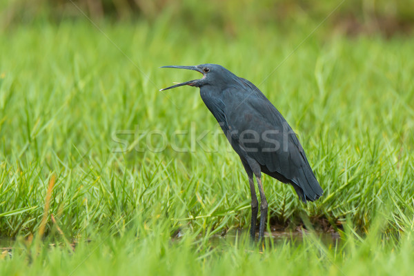Black Egret with open mouth Stock photo © davemontreuil
