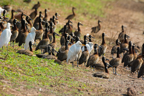 Mixed flock of Cattle Egrets and White-faced Whistling Ducks Stock photo © davemontreuil