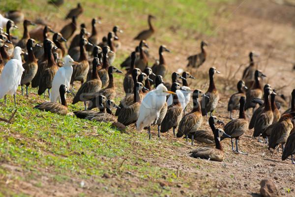 混合した 群れ 牛 スロープ 鳥 ストックフォト © davemontreuil
