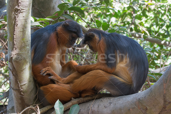 Western Red Colobus Monkey couple sharing a quiet moment Stock photo © davemontreuil