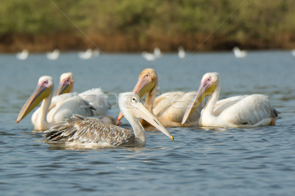 A Pink-backed Pelican floating past a group of Great White pelic Stock photo © davemontreuil