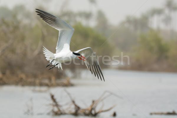 Foto stock: Voador · peixe · água · pássaro · África · salpico