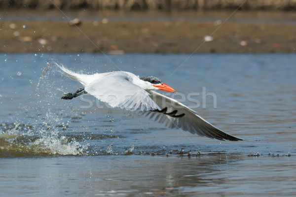 Side view of a Caspian Tern taking to the air after a dive Stock photo © davemontreuil
