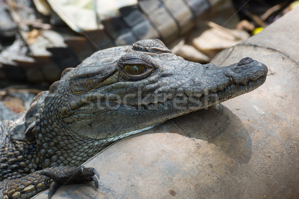 A young West African Crocodile resting its head on a pipe Stock photo © davemontreuil