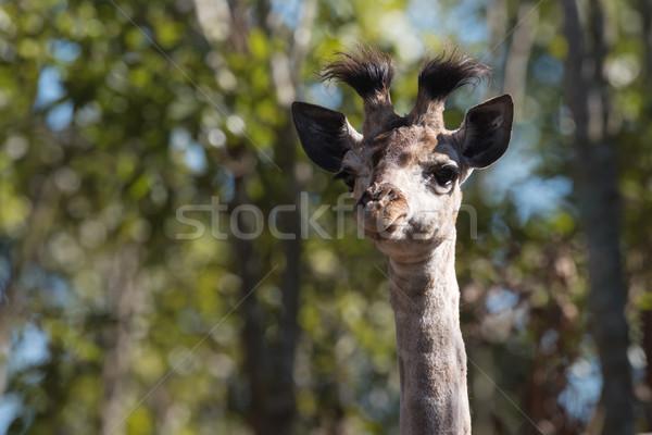 Bebek zürafa portre kafa boyun Afrika Stok fotoğraf © davemontreuil