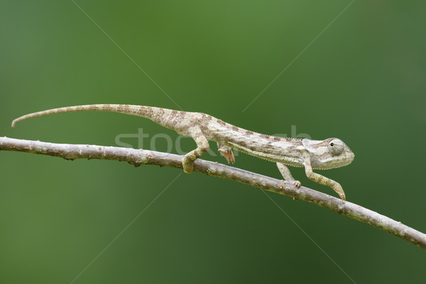 Flap-necked Chameleon (Chameleo dilepis) creeping away on a bran Stock photo © davemontreuil