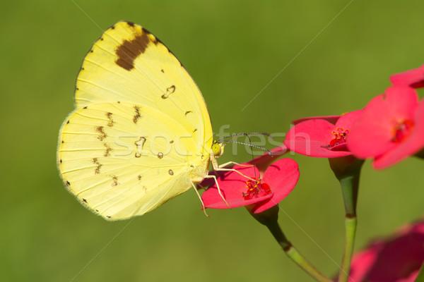 草 黄色 蝶 飲料 ネクター 赤い花 ストックフォト © davemontreuil
