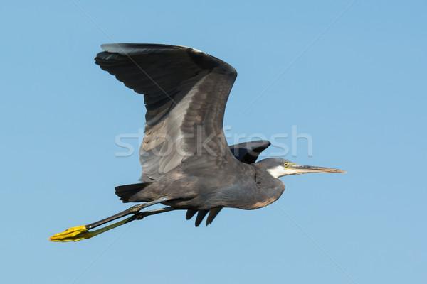 Western Reef Heron (Egretta gularis) in flight Stock photo © davemontreuil