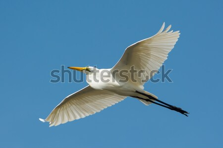 Great White Egret (Egretta alba) in Flight Stock photo © davemontreuil